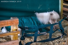 """Madrone Ranch Stables """"mascot"""" Noel"""